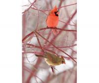 Adventure Publications Cardinals Blank Journal Lined