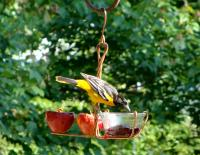 Songbird Essentials Fruit and Jelly Oriole Bird Feeder
