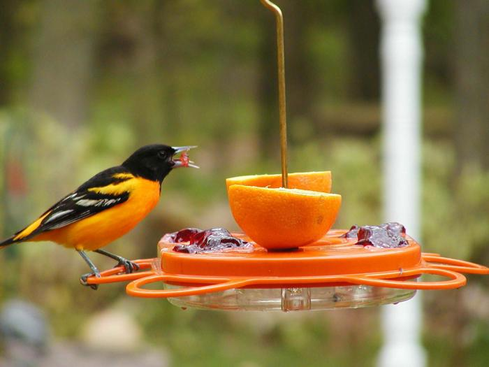 Birds Choice 12 Ounce Oriole-Fest Oriole Bird Feeder